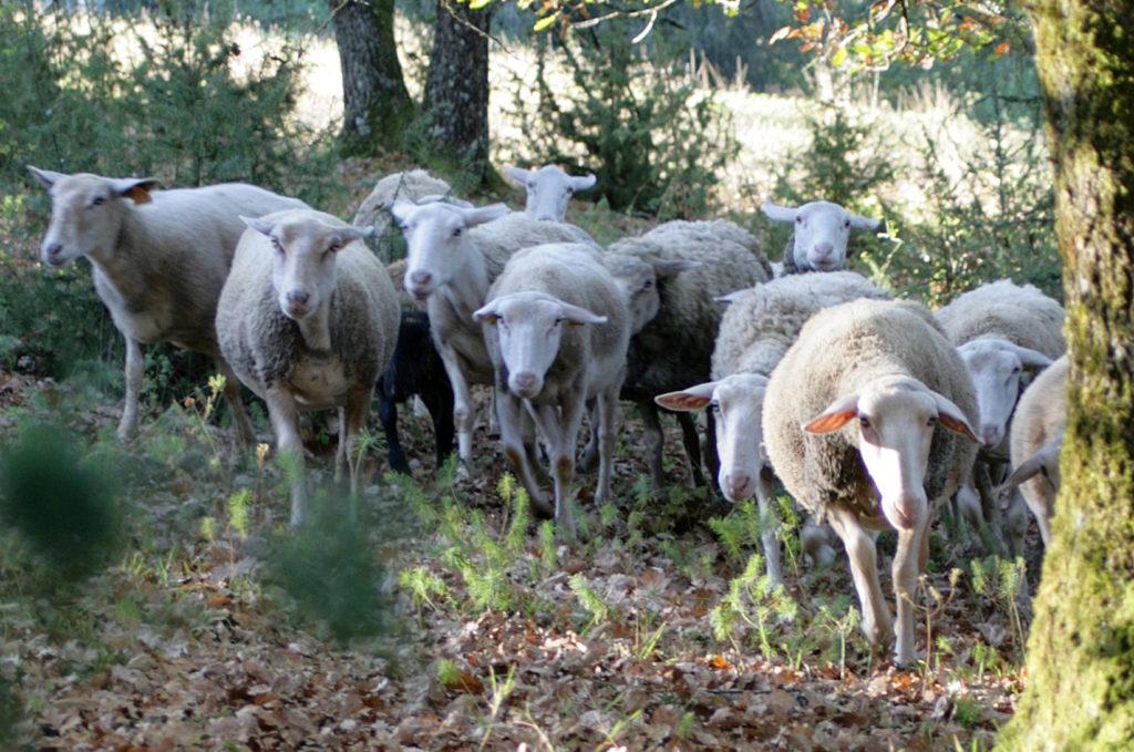 Des brebis vont pâturer dans les vignes de Monbazillac